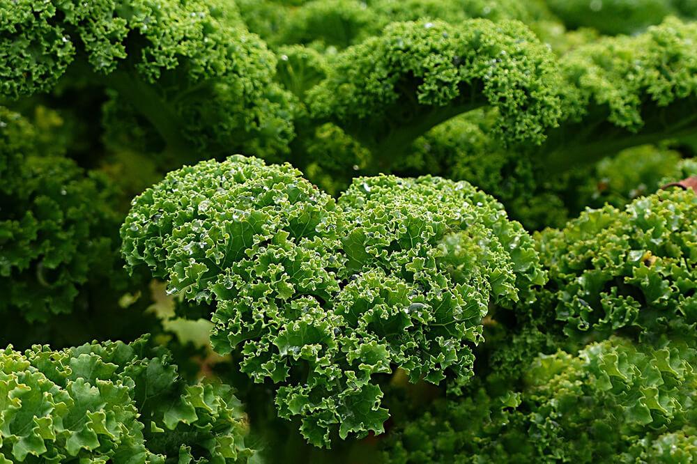 Cải xoăn được xem là một trong những thực phẩm giàu chất dinh dưỡng nhất trên hành tinh do khả năng chống oxy hóa của thực phẩm rất mạnh mẽ